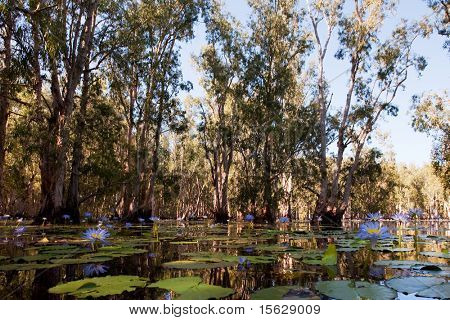 Mangrove trees in water with beautiful blue Lotus flowers