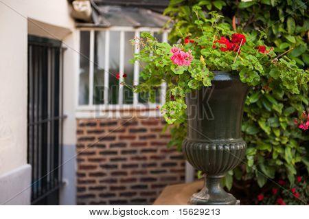 Flower pot with Pelargonium plant outdoor in Paris