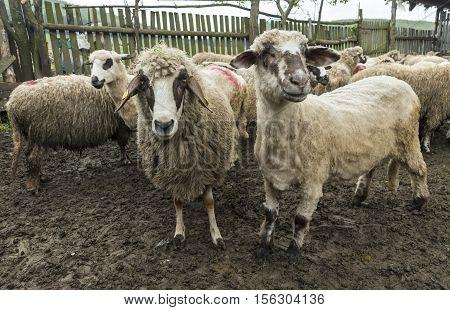 Sheep in a farmhouse posing for photographer