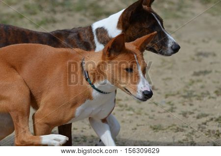 Prancing pair of Basenji dogs together looking cute.