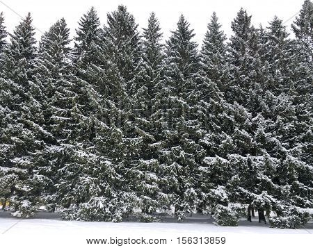 a hedge of coniferous trees, many planted in rows of trees, tall, forming a wall, the snow lies on the branches and on the ground