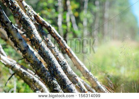 Felled birches in sunlite bokeh background hd