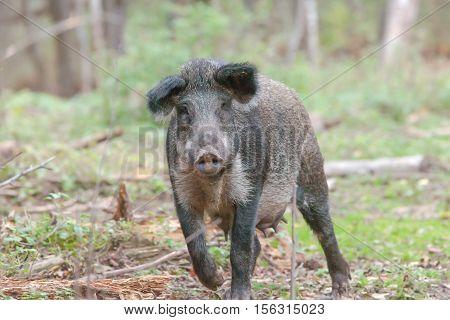 Wild Boar Walking In The Autumn Forest