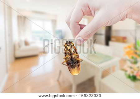 Woman's Hand holding cockroach on room in house background eliminate cockroach in room house
