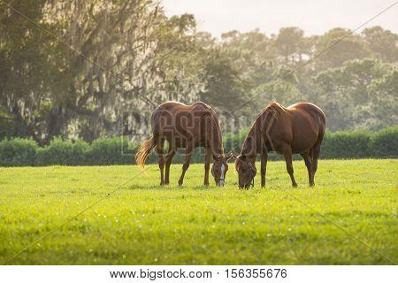 Beautiful Florida Thoroughbred horses grazing in lush green sunlit pasture outdoors