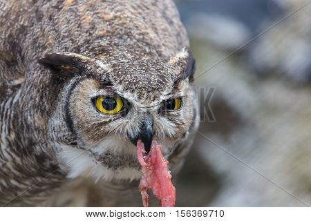 The great horned owl, also known as the tiger owl or the hoot owl, is a large owl native to the Americas. It is an extremely adaptable bird with a vast range and is a common  true owl in the Americas