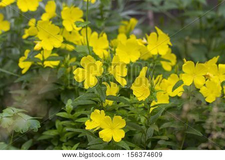 Oenothera flower (primrose) is a genus of about 125 species of herbaceous flowering plants native to North and South America. It is the type genus of the family Onagraceae