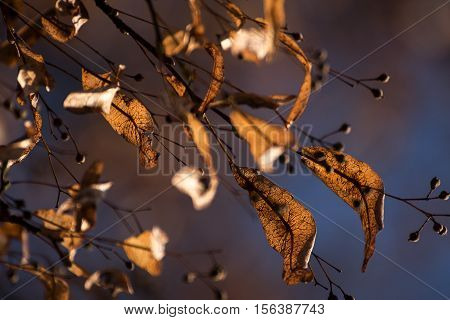 Linden seeds with wing leaves in autumn on the tree against a blurred blue background selective focus narrow depth of field can be used as a seasonal nature greeting card or concept of hope on changing times
