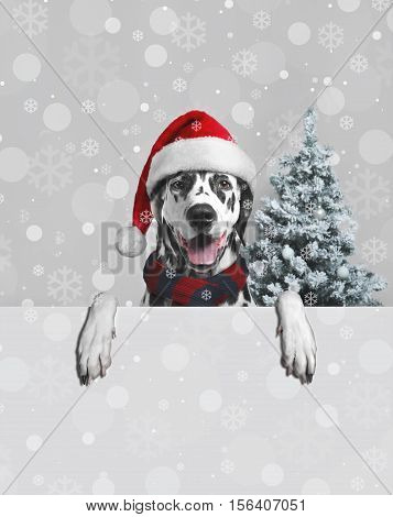 poster of Christmas card. Black white dalmatian dog in Christmas hat of Santa Claus. Dog Paws hang. Christmas snowflakes on Dalmatian dog. Behind dog Christmas fir-tree snow. Place for text poster. Blank space.