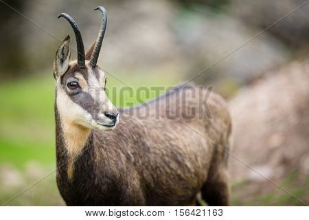 Chamois (Rupicapra rupicapra) within its natural habitat - high mountains