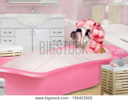 Funny Dog in pink curlers sitting in the bath with foam