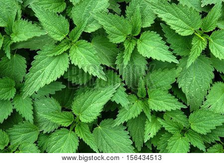 Texture of the fresh green stinging nettle