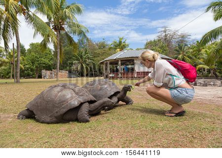 Female tourist woman feeding and admiring big old Aldabra giant tortoises, Aldabrachelys gigantea, in National Marine Park on Curieuse island, close to Praslin on Seychelles.