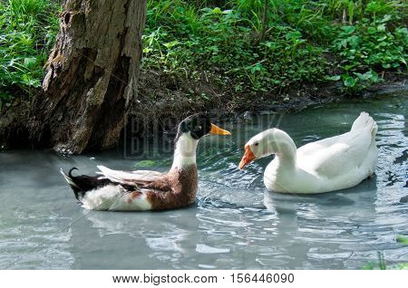 Duck and goose in pond. Spring day.