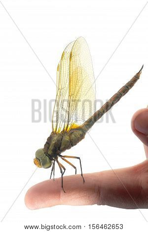 dragonfly on a finger isolated on a white background