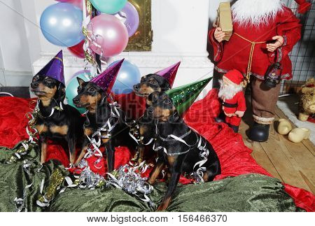 small dogs, miniature-pinschers dressed for new-yesrs eve, greetings