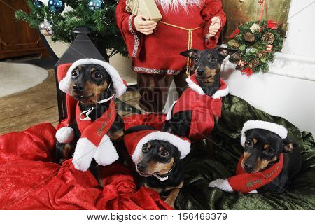 dogs, miniature-pinschers dressed as father christmas with greetings