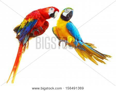 Two colorful red parrots macaw isolated on white background