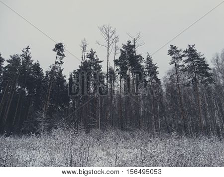 Winter forest in snow minimalism style hues nature trees pine wallpaper view background