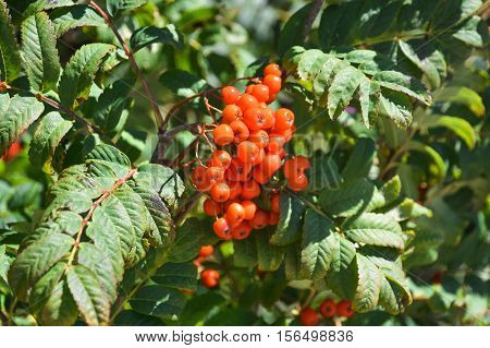 Ripe berries on the branches of a mountain ash tree.