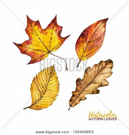 Set of watercolor autumn leaves isolated on white background red yellow and orange botanical watercolour autumn leaf maple elm and oak hand painted illustration for decoration invitation card