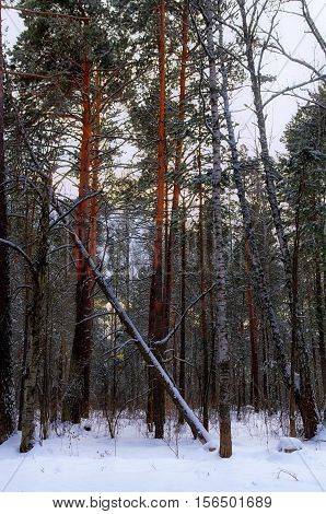 winter forest landscape with fallen pine tree