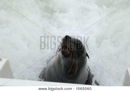 Animal Seal With Waves In Background