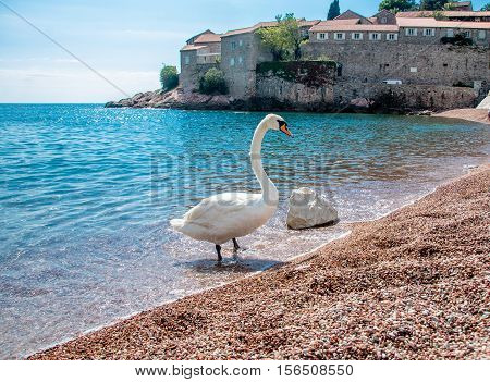 A lone swan standing at the water's edge on the beach