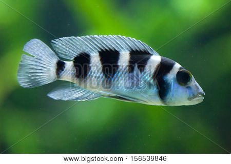 Frontosa (Cyphotilapia frontosa), also known as the humphead cichlid. Juvenile fish.