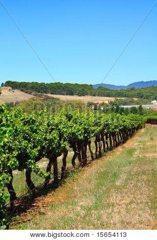 Row of Vines at a Vineyard