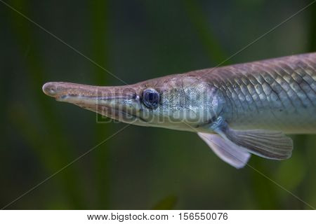 Spotted gar (Lepisosteus oculatus). Freshwater fish.