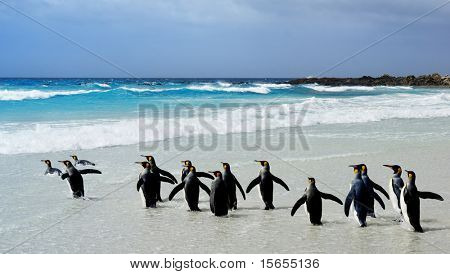 King Penguins heading to the water at Volunteer Point, Falkland Islands