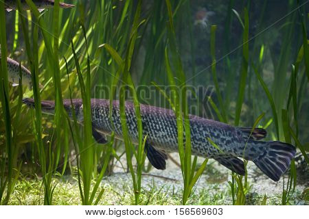Shortnose gar (Lepisosteus platostomus), also known as the caiman gar.