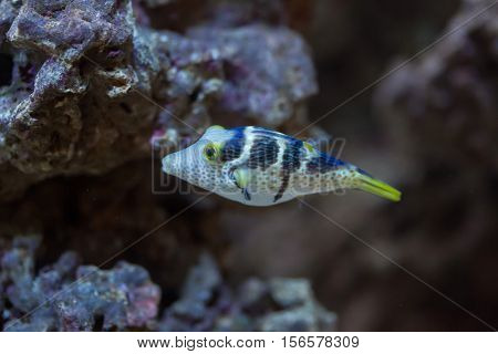 Valentinni's sharpnose puffer (Canthigaster valentini), also known as the saddled puffer.
