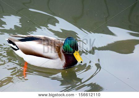 Mallard (Anas platyrhynchos) male swimming in river.