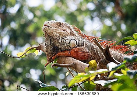 Big Iguana Resting