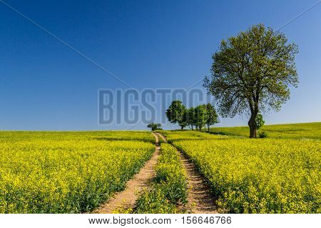 Rape Field With Trees On Blue Sky Background