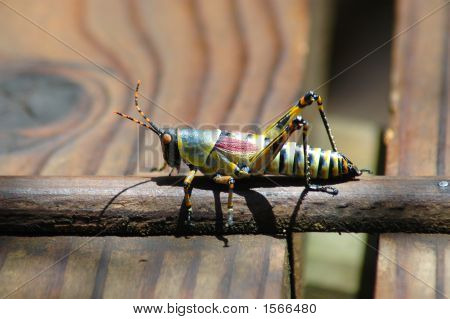 Common Milkweed Grasshopper