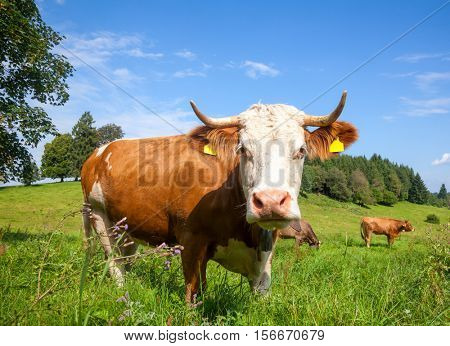 Herd of brown cows grazing at a pasture on a sunny summer day in Bavaria