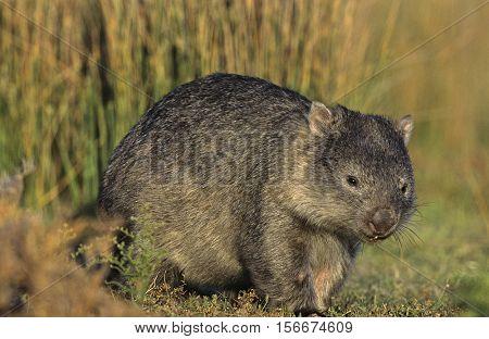 Wombat in field