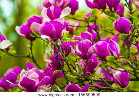 decoration of few magnolia flowers. pink magnolia flower. Magnolia. Magnolia flower. Magnolia flower spring branch clipping path included.