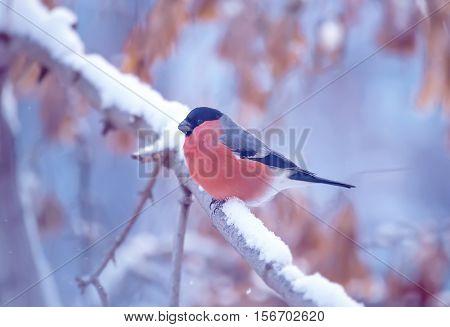 Male Bullfinch sitiing on branch winter season