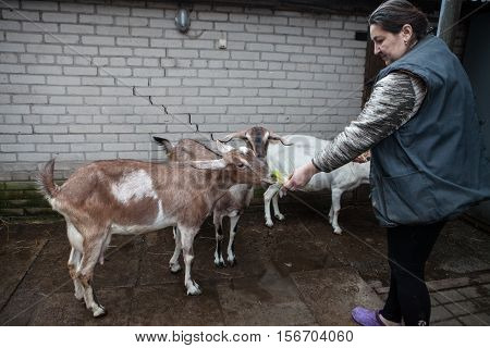 Saint-Petersburg Russia - December 14 2014: Goat Saanen. The woman in the yard with a group of purebred goats personally grown it.