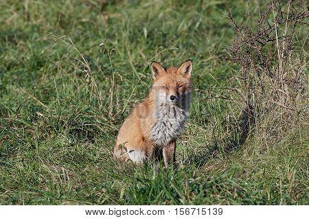 Red fox sitting i grass in its natural habitat