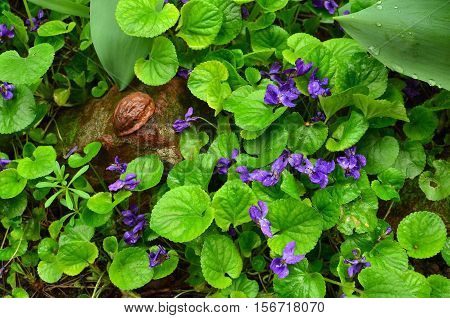 Lot of wild violets with raindrops after heavy spring rain
