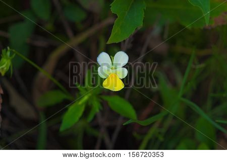beautiful delicate flower violet tricolor field on a background of green foliage