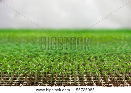 Greenhouse Seedling. Close-up Of Green Seedling Growing