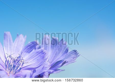 Flower chicory on the background of bright blue sky. Close-up