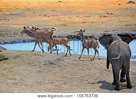 Adolescent elephant chasing kudu away from a waterhole in Hwange National Park