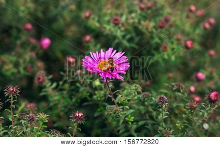 insect bee pollinates a beautiful pink flower in the summer